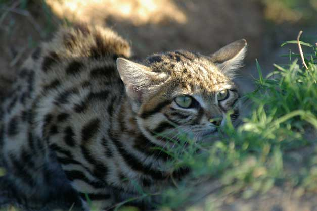 hoedspruit black footed cat