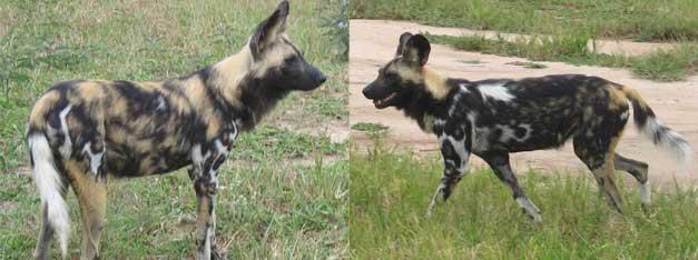 two hyenas having a stroll