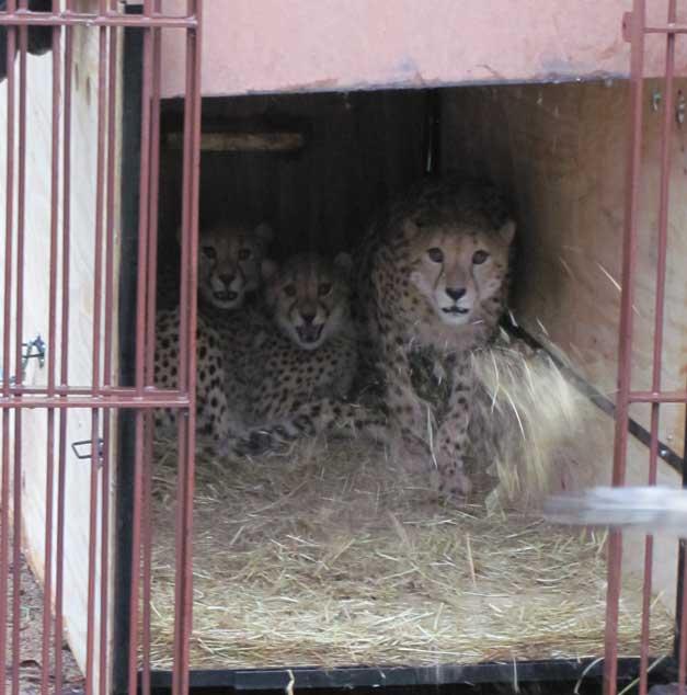 cheetahs at hoedspruit