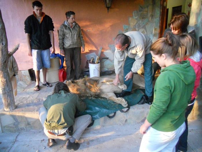 hoedspruit volunteers with lion