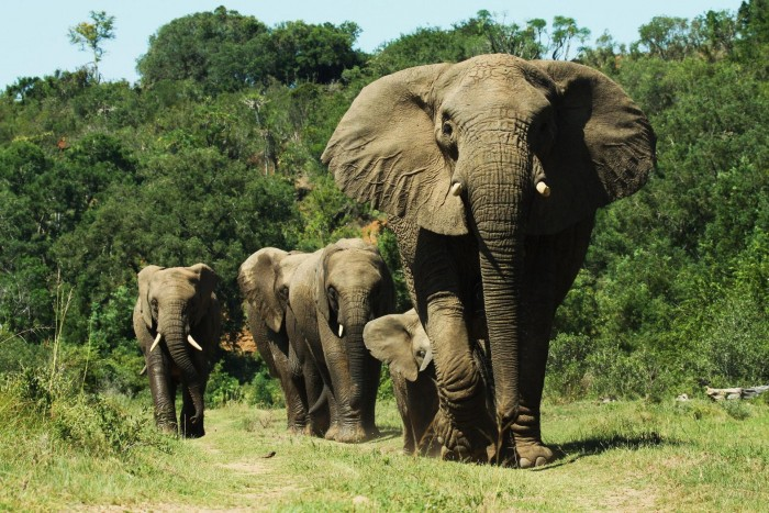 A truly incredible sight of a group of elephants walking across the plains of South Africa