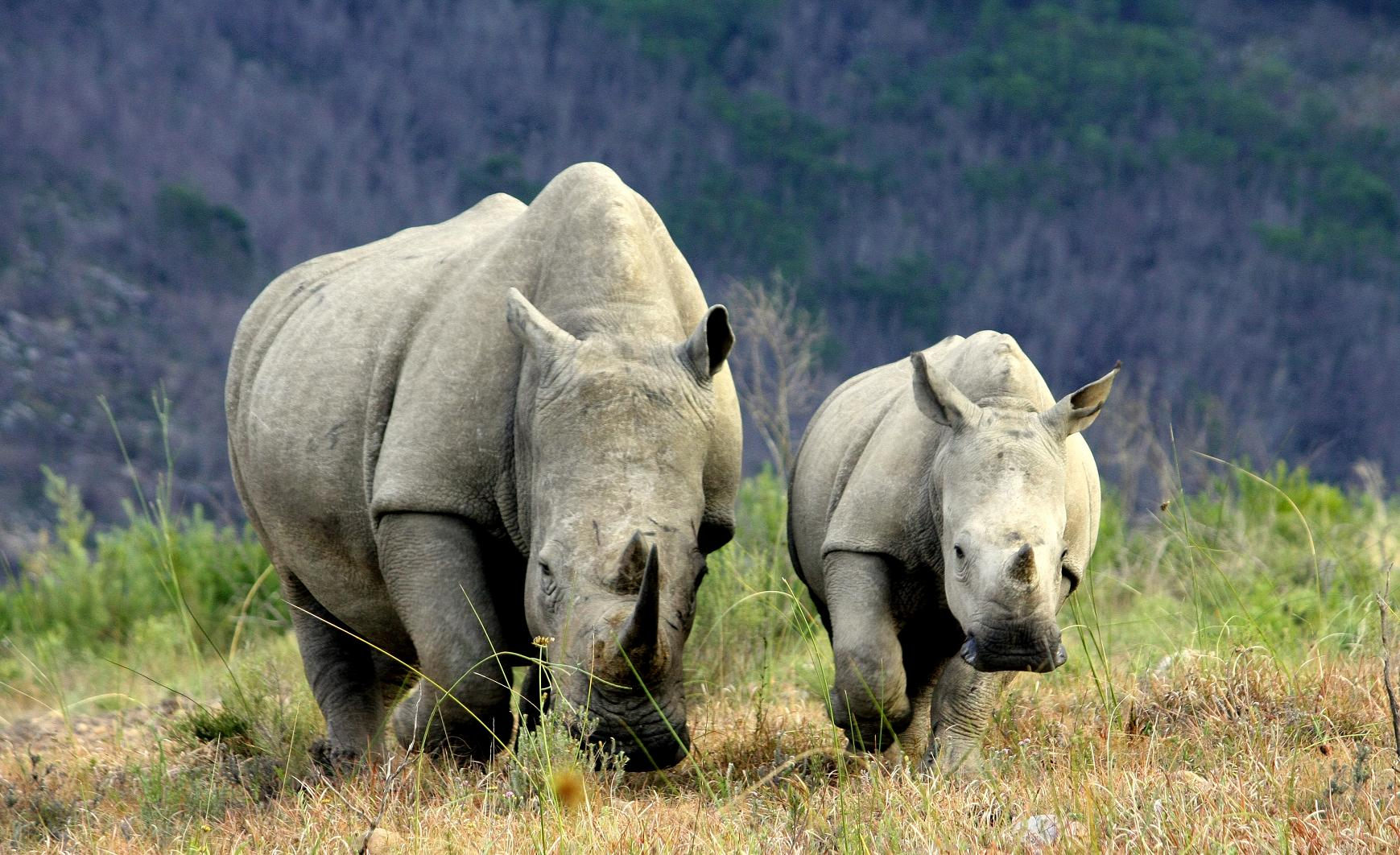 A magnificent rhino and its offspring charge through the plains of Africa