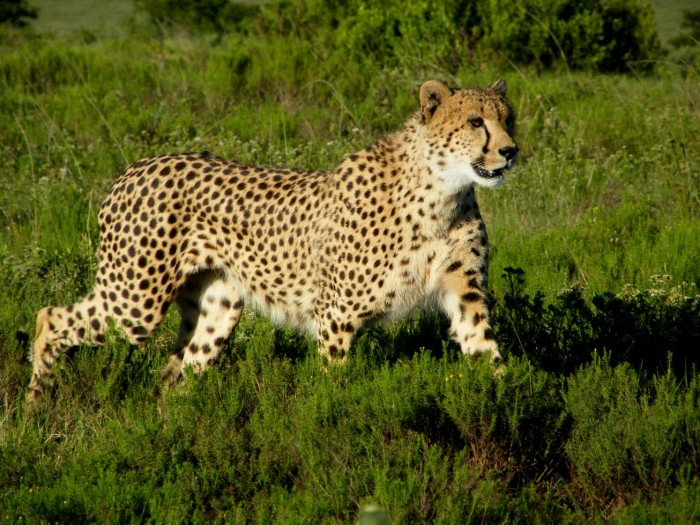 A majestic cheetah watches on, potentially scouting for food