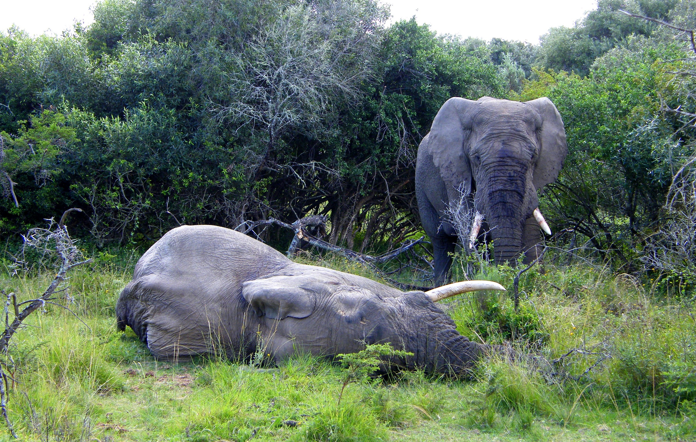 Harpoor the elephant being watched over by another elephant