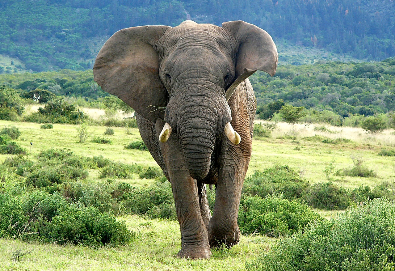 Harpoor the elephant charging through the lush green land of South Africa