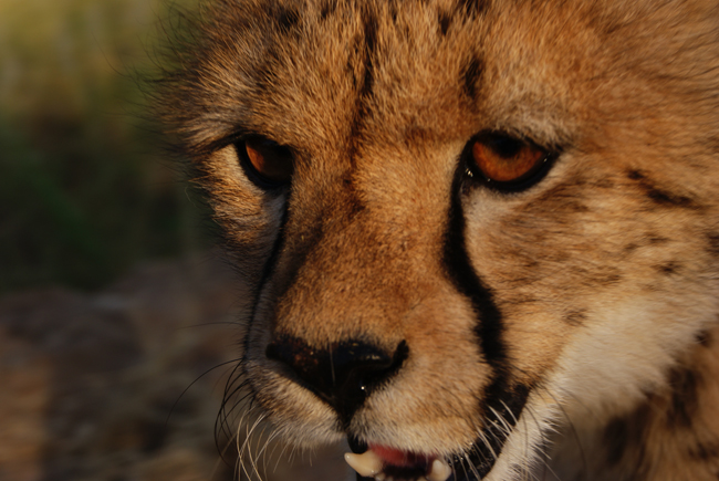 A close up of a beautiful cheetah, with magnificent amber eyes