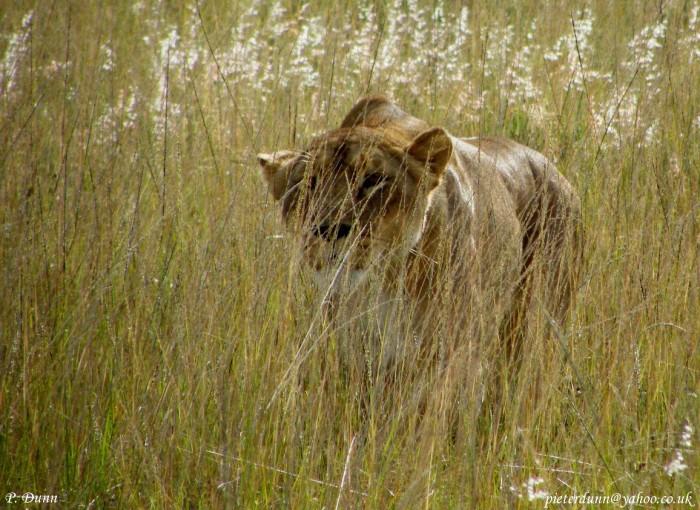 split-lioness