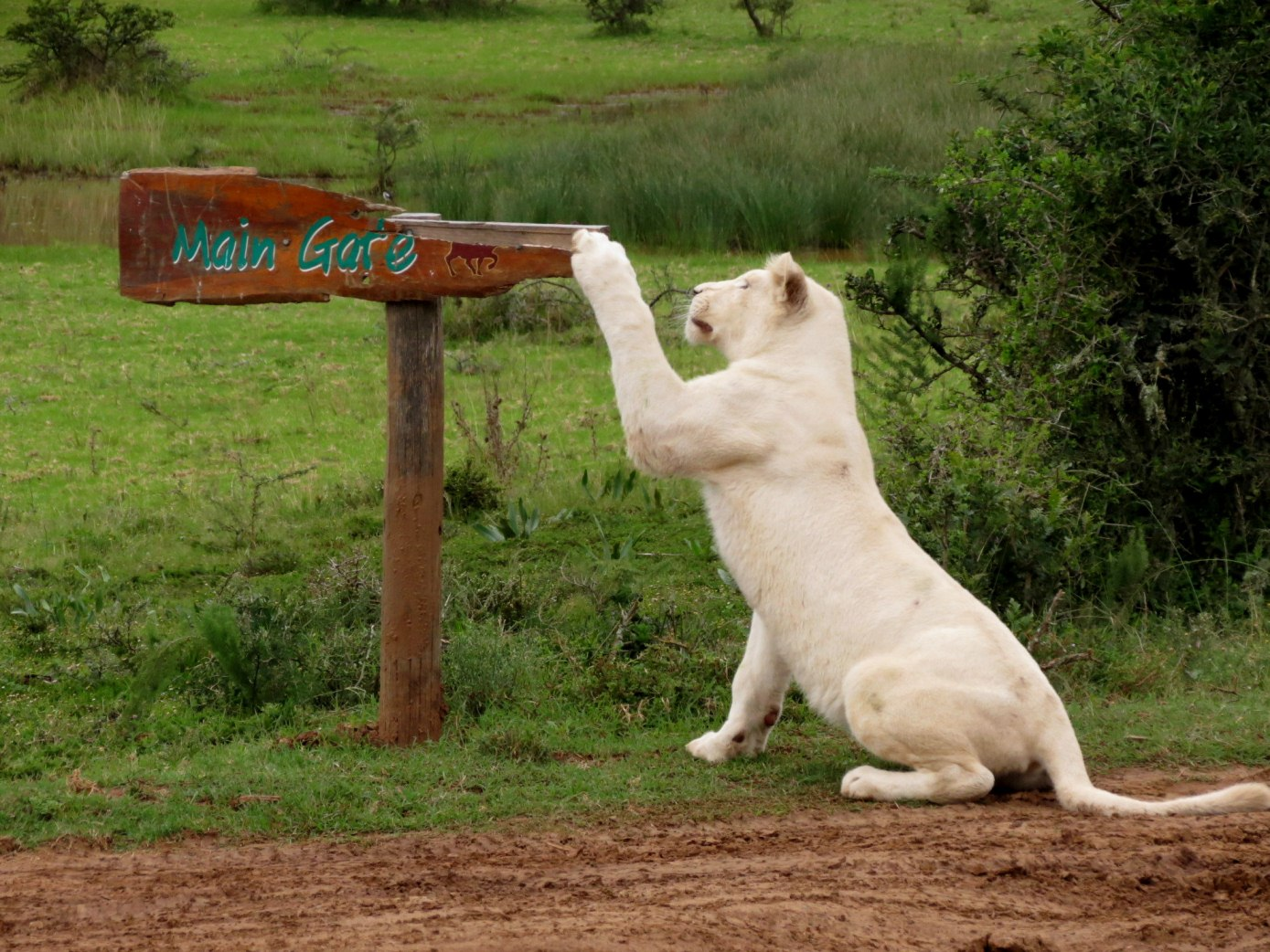 The beautiful white lioness of Pumba game reserve attempts to adjust a sign