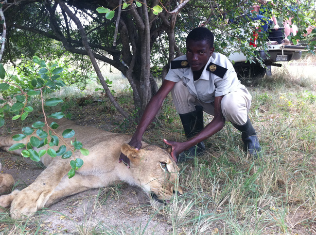 Simon of Hoedspruit tends to a poorly lioness