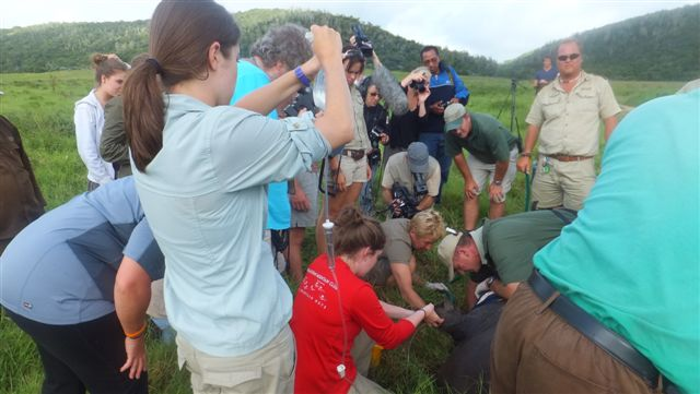 An animal receiving treatment at the Kariega game reserve