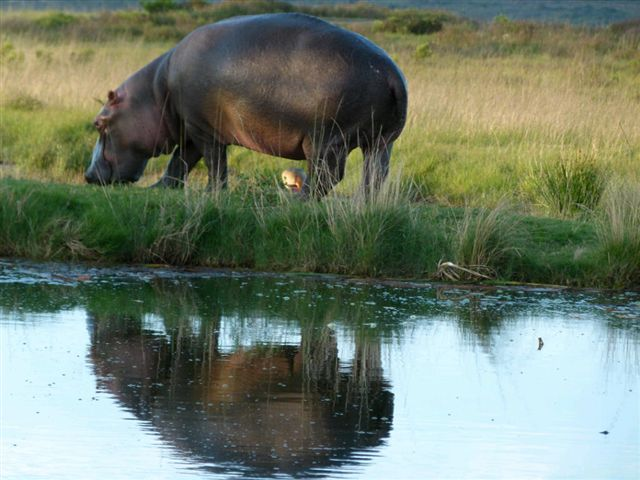 A plump hippo stands next to a stream
