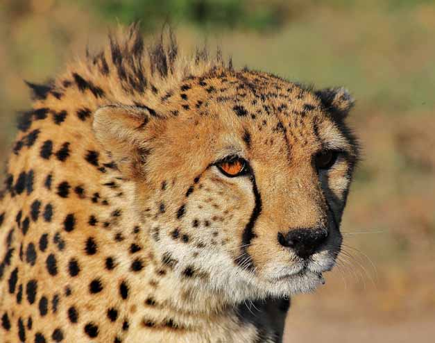 A cheetah with his fur slightly ruffled up