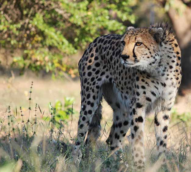 Tiaan the cheetah monitors the set up of the lure machine from afar at hoedspruit