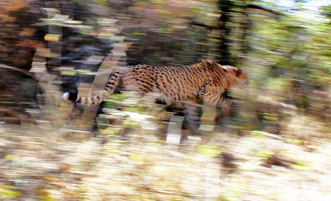 A released cheetah sprints through the overgrowth