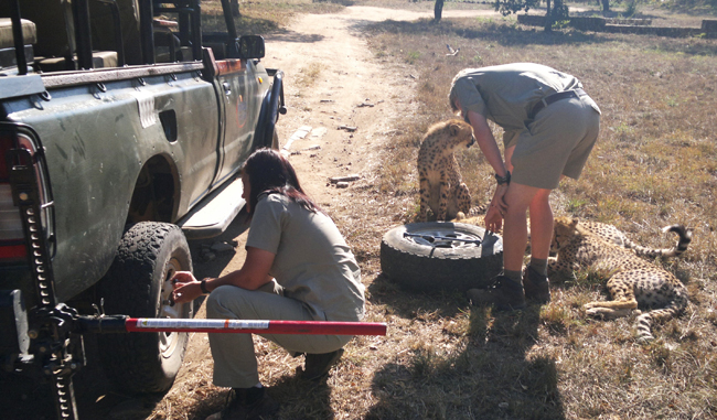 Members of the HESC team change a tyre with the help of some curious cheetahs