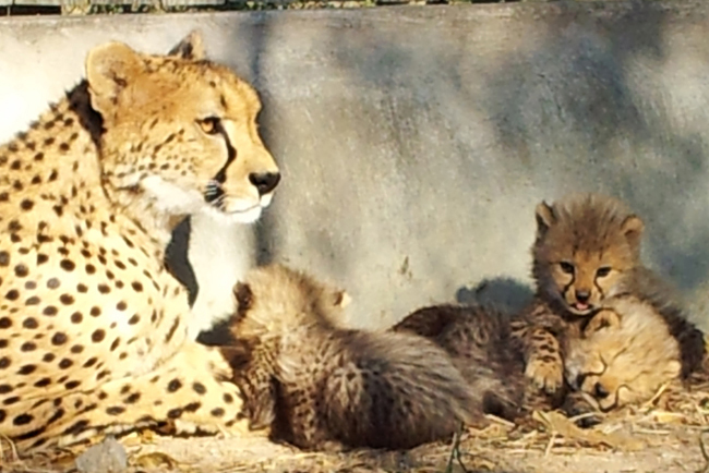 Cheetah mother looks after her adorable, fluffy clubs