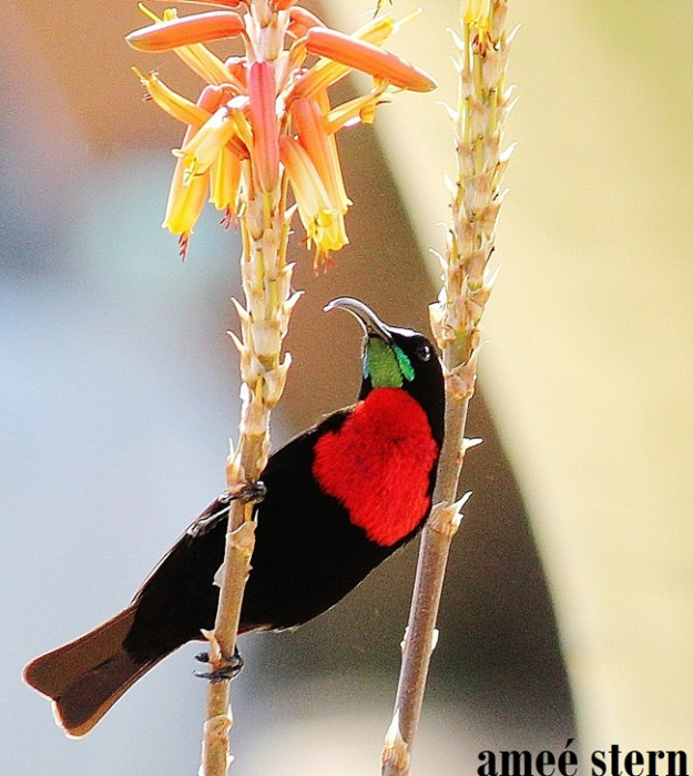 A scarlet chested sunbird nestles on some of Africa's most beautiful plants