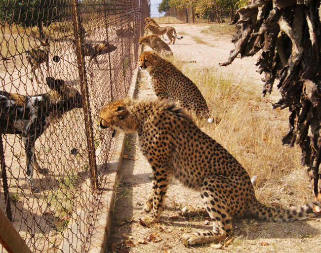 Cheetahs and wild dogs have a stand off at the fence at HESC