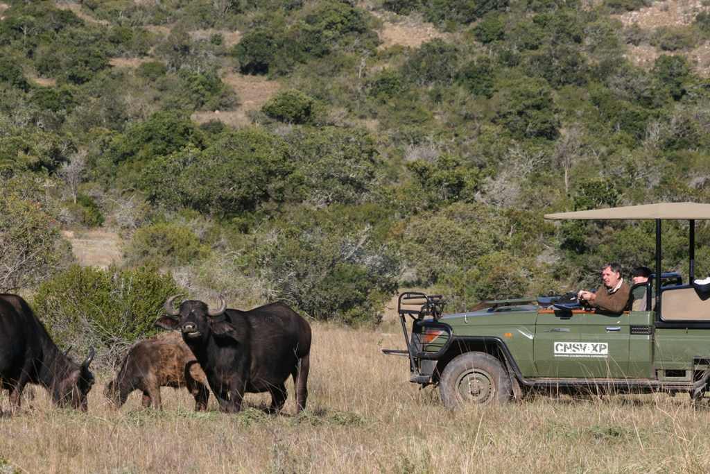 volunteers at the Shamwari get a close look at the amazing buffalo of South Africa