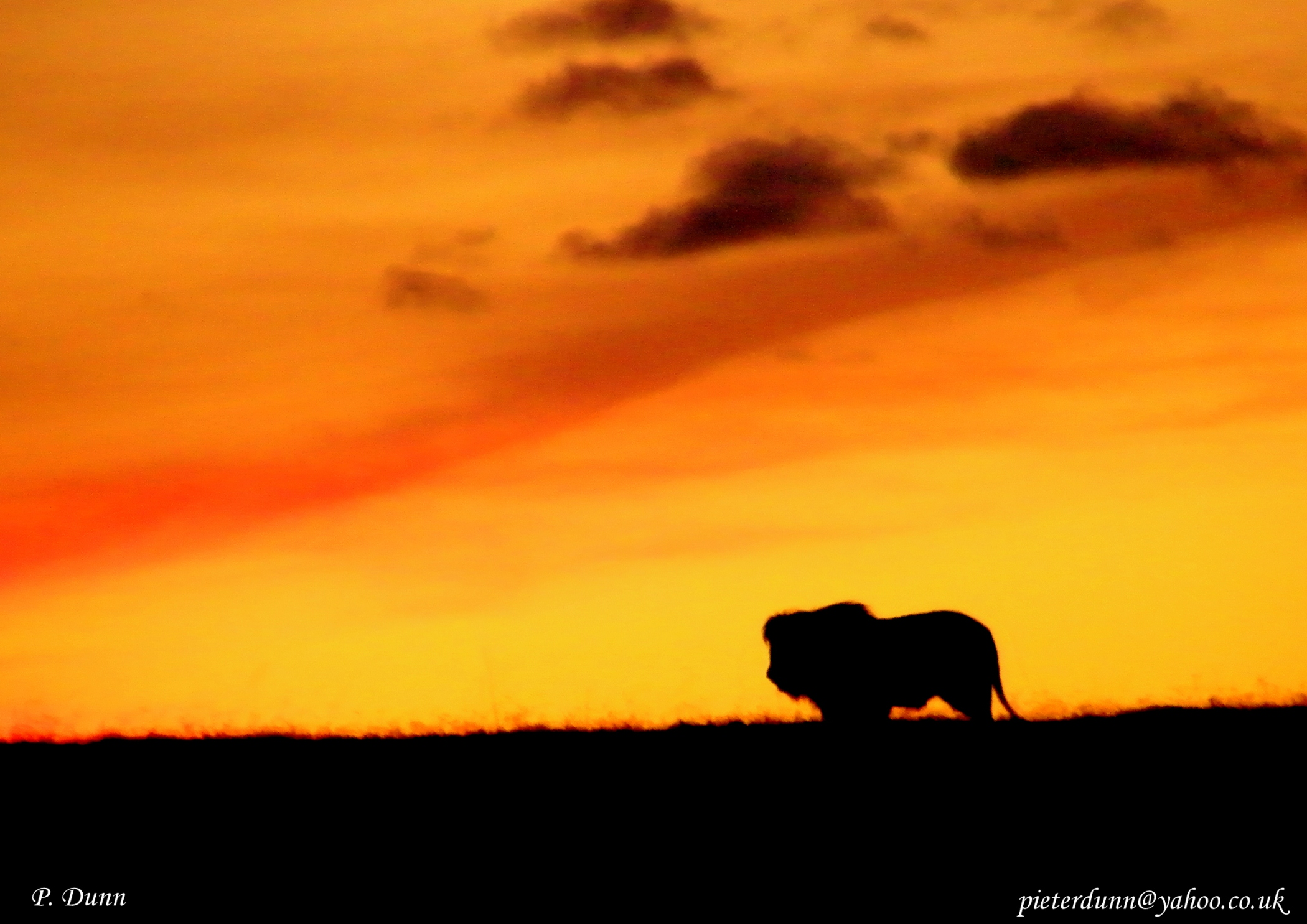 A lion stands at the beautiful sunset in South Africa