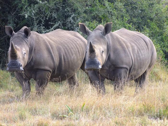 Two rhinos enjoying their graze at the Shamwari Conservation Experience
