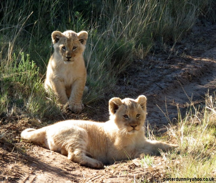 two lion cubs soaking up the sunshine in the middle of tyre tracks at the pumba game reserve
