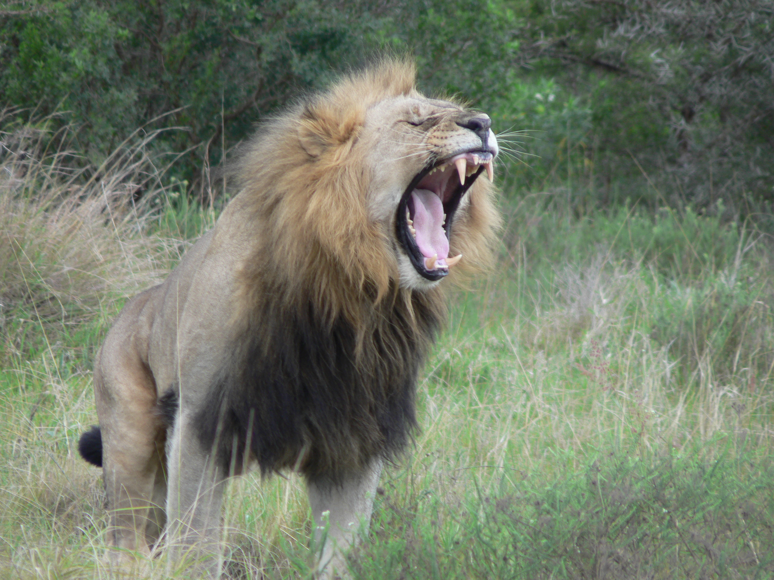 A magnificent lion roars at the Kariega Conservation Project