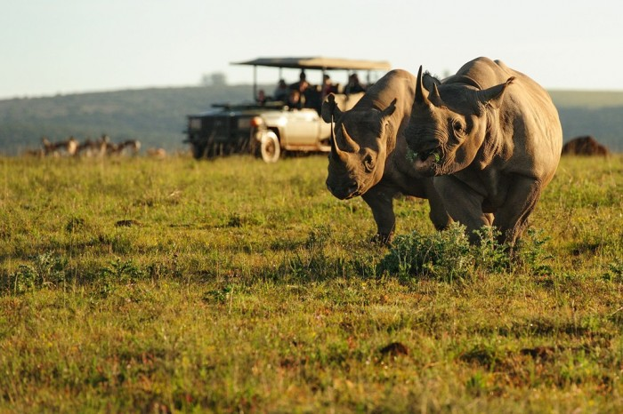 Two rhinos charging in Shamwari