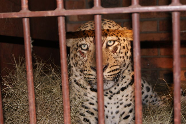 A poorly leopard being treated at Hoedspruit endangered species centre