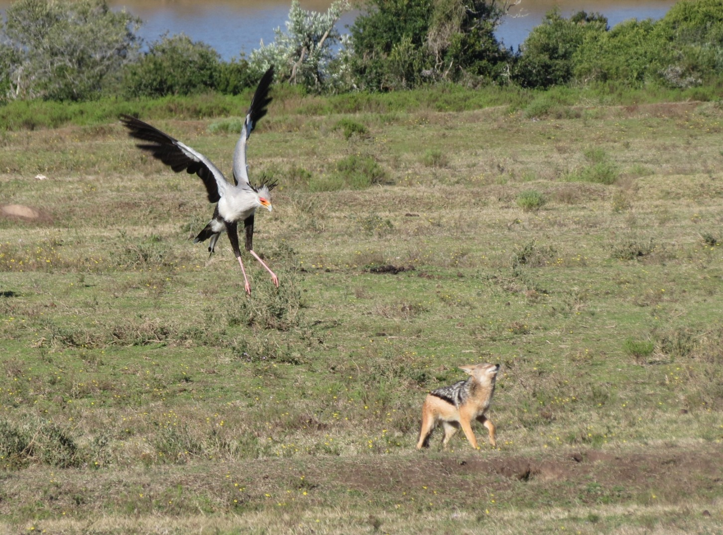 A bird and wild dog compete for some food at the Pumba Game Reserve