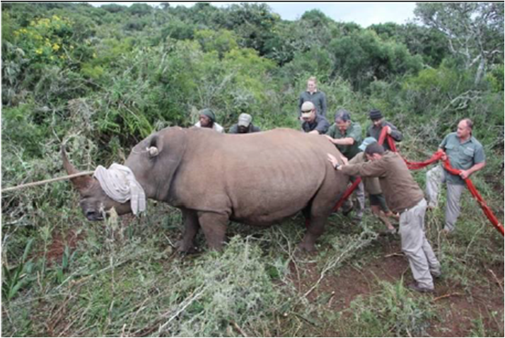 volunteers working to try and move a particularly large rhino