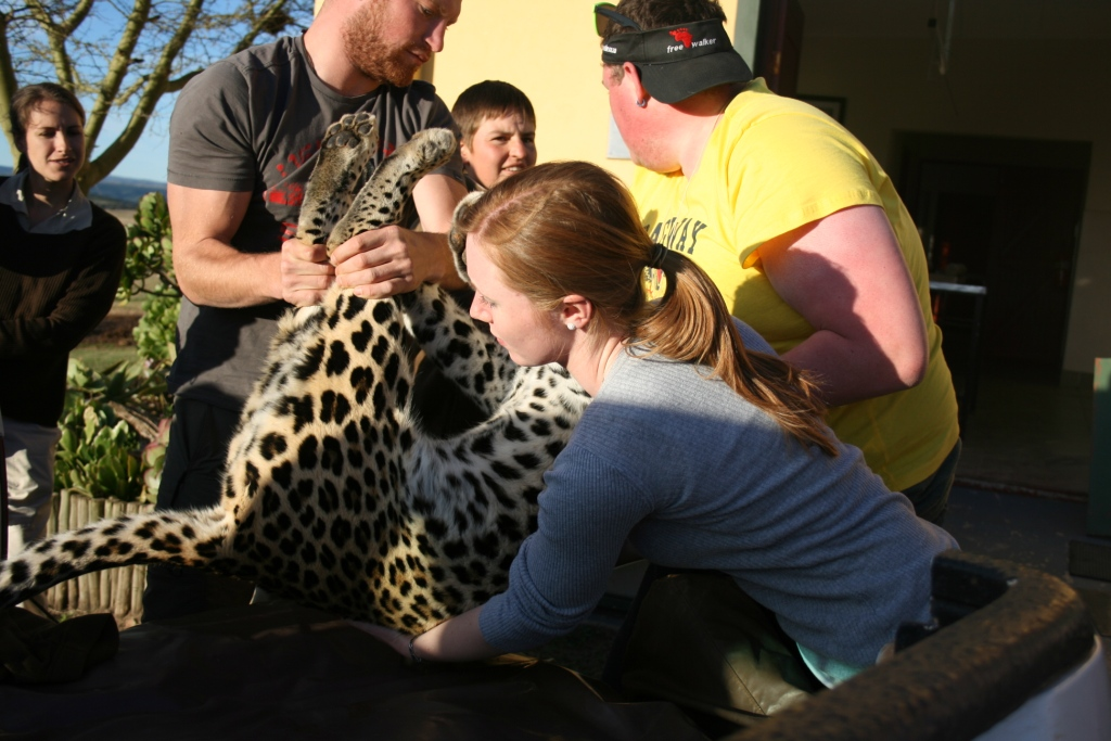 volunteers transport a leopard at the shamwari conservation experience