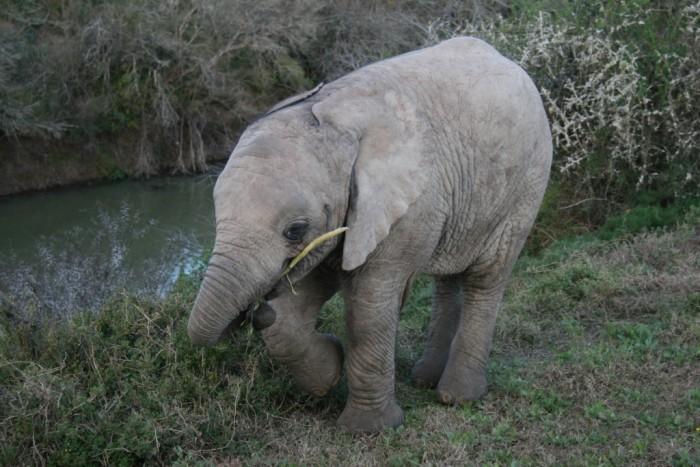 a baby elephant enjoys a snack at the shamwari game reserve