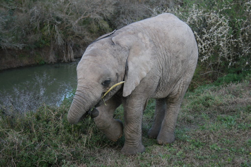a baby elephant enjoys a snack at the shamwari game reserve