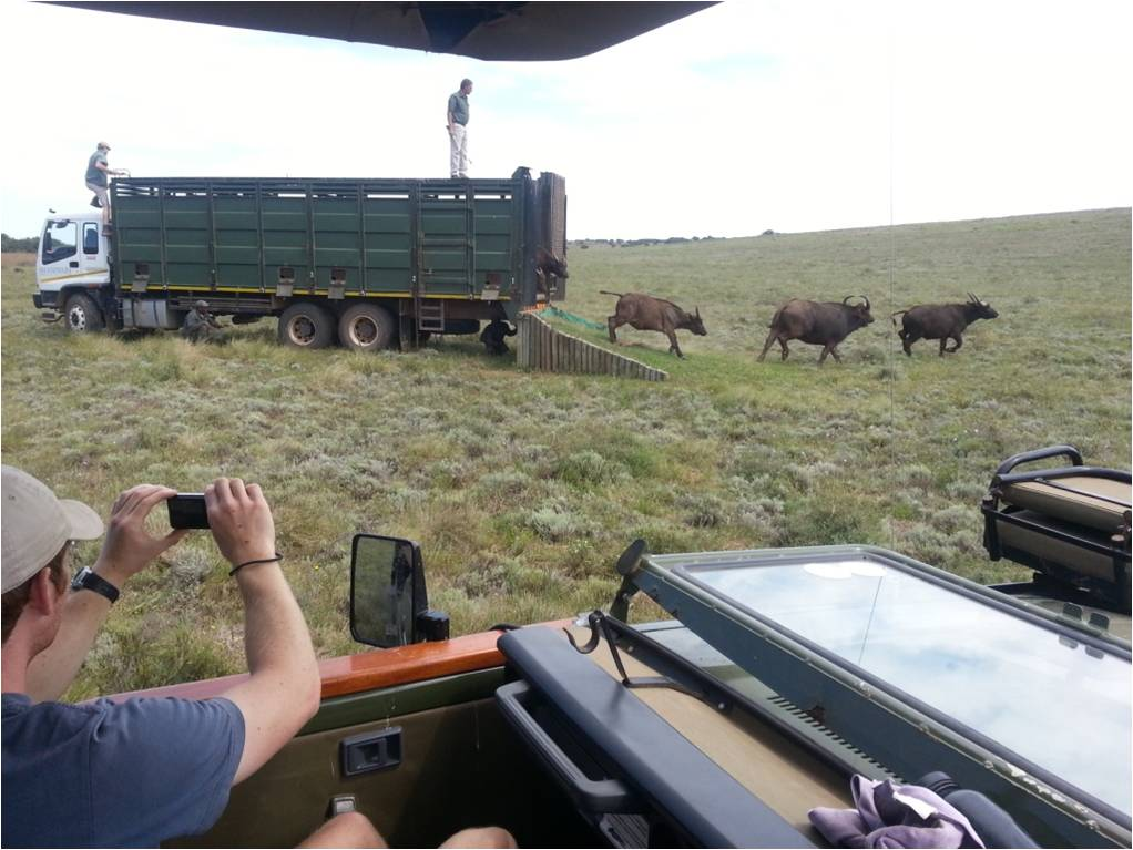 Buffalo released on to the Shamwari game reserve as our volunteers look on