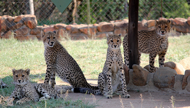 A cheetah coalition stand together at HESC