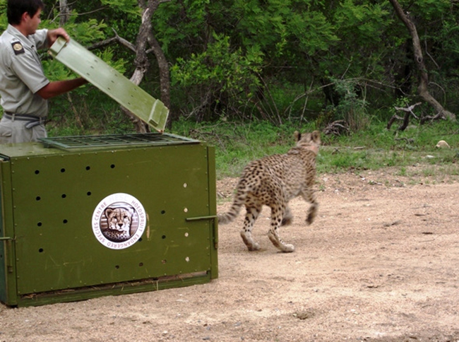 a cheetah is released from the hoedspruit endangered species centre and sprints out into its natural habitat