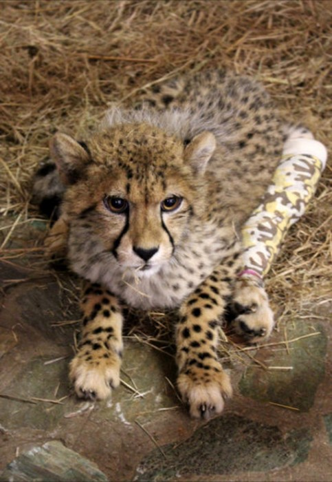 a beautiful cheetah cub with a cast around its injured leg