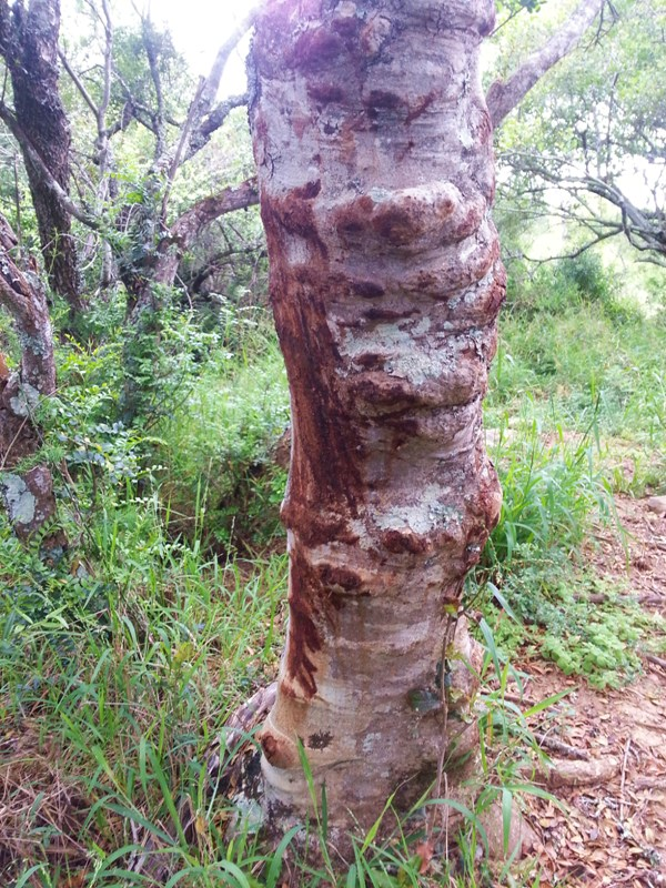 A tree used as a scratching post in South Africa