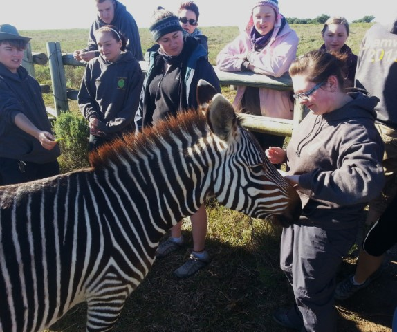 A volunteer feeding a zebra pieces of apple at the animal rehab centre as a part of the Shamwari Conservation Experience