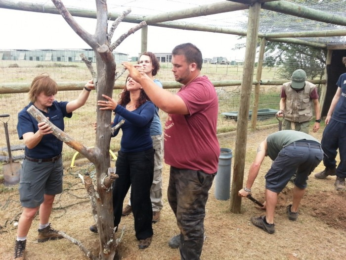volunteers assemble a tree in an enclosure for the Caracals