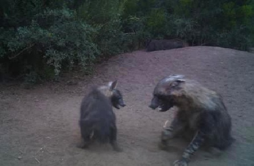 Two brown hyenas have a stand off, snarling at eachother at the Shamwari Game Reserve