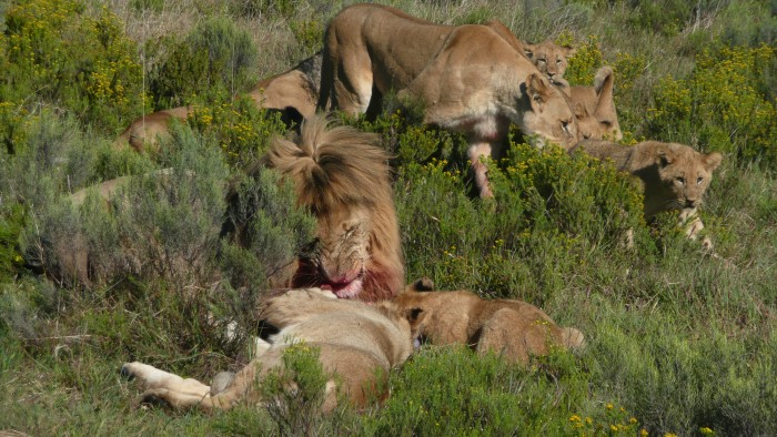 A pride of lions feast on their kill for the day at the Shamwari Conservation Experience
