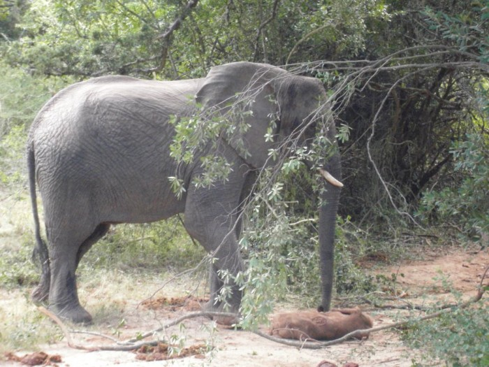 An elephant mother sadly stands next to her dead offspring