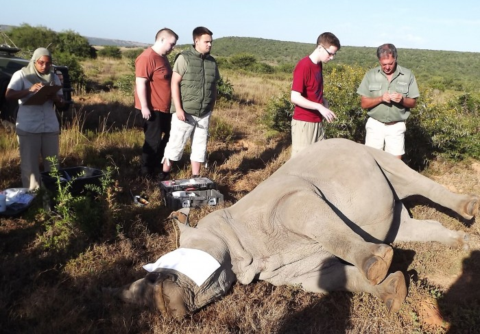 volunteers at the Shamwari game reserve look on at a white rhino requiring treatment