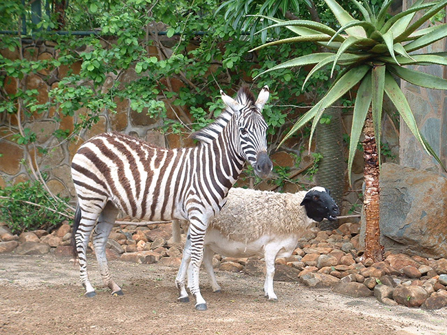 A surrogate sheep mother, standing next to a zebra