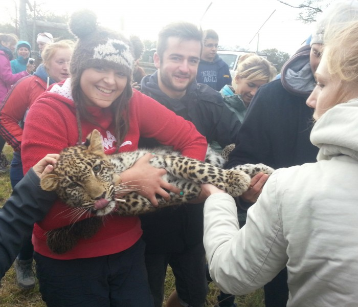 volunteers carry a big cat on its way to treatment