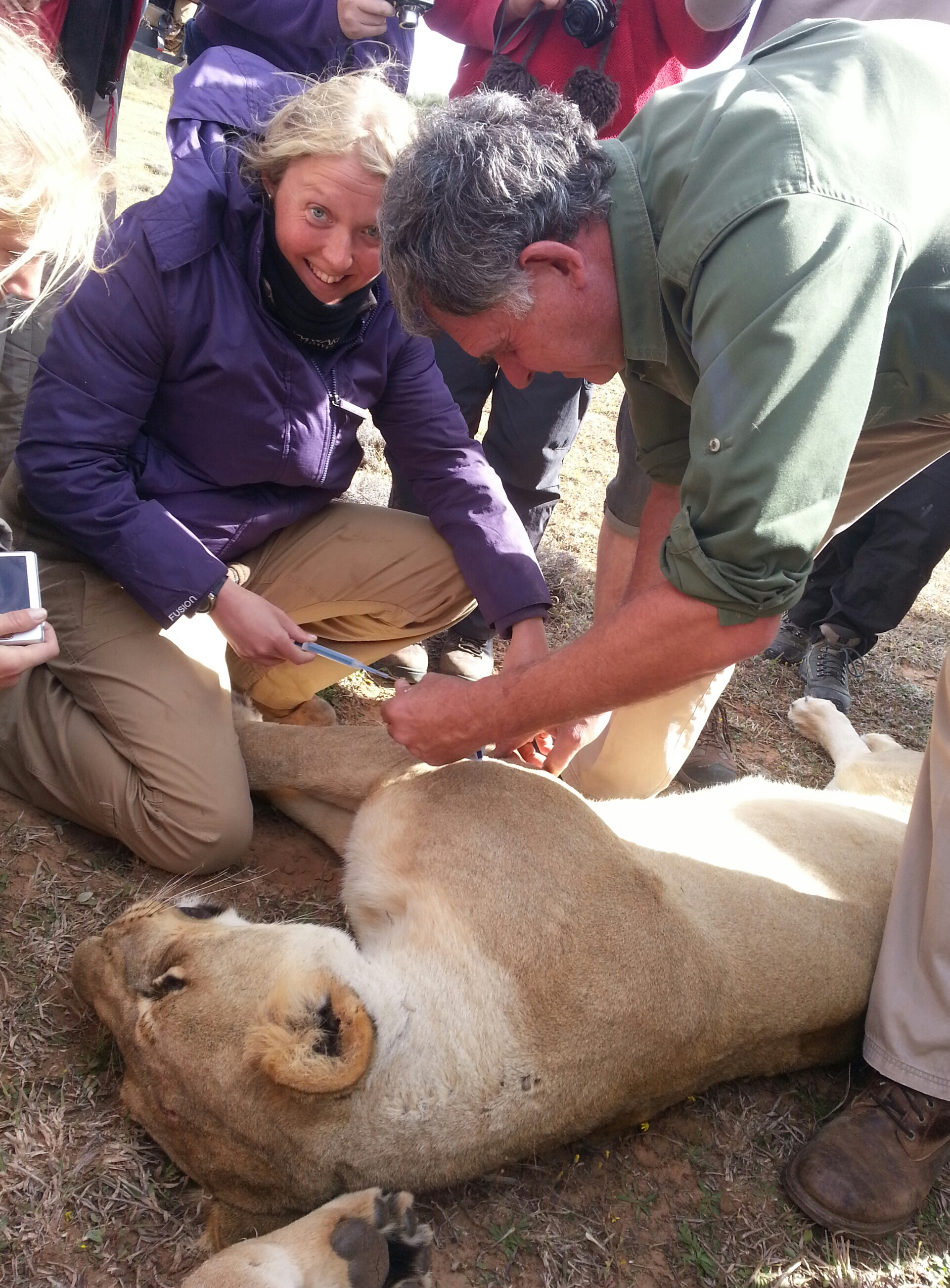 volunteers and vets treat a lioness on the Shamwari Conservation Experience