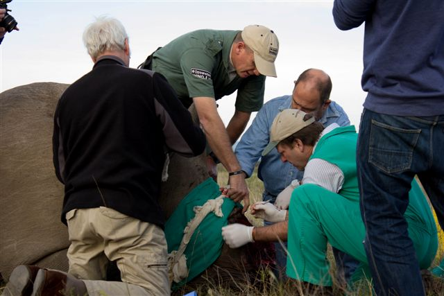 Volunteers and vets treat a rhino at the Kariega Game Reserve