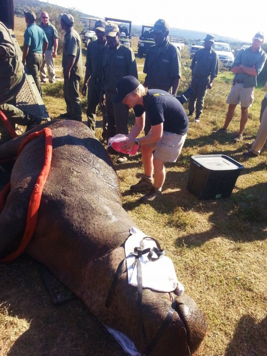 volunteers help a hippo with wounds to its back after fighting with another male